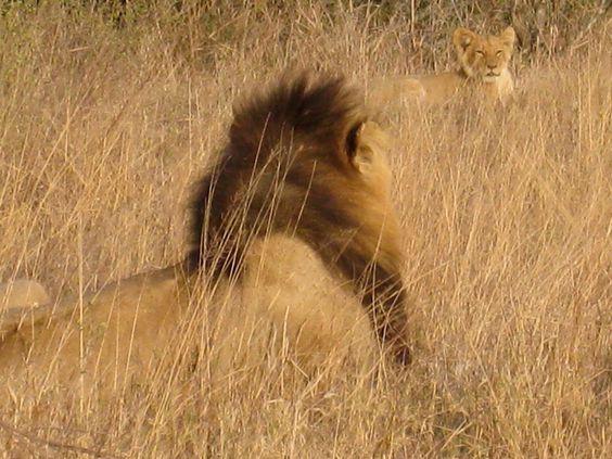 Lion seeking lion v.v. Courtesy: unknown