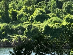 Just one photo of nature. The exception to the lion photo rule and this photo gives the Rob/Bor Gallery a nice touch of nature. I took this photo in Sacramento, Saturday May 19, 2018, the green is along the American River