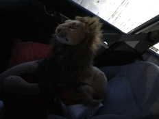 Rob Lion Young on the way back from the Sleeping Research Center in Woodland, early morning